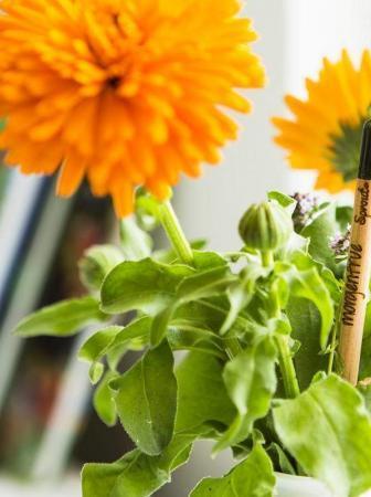 Sprout Pencil, la matita ecologica che si pianta dopo l'uso