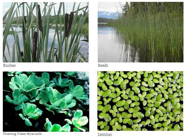fitodepurazione-piante